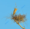 MARCH #2<br /> <br /> Great Blue Heron in nest.<br /> <br /> Near Elora,Ontario.
