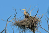 SEPTEMBER #2<br /> <br /> Great Blue Heron in nest.<br /> <br /> Near Elora, Ontario.