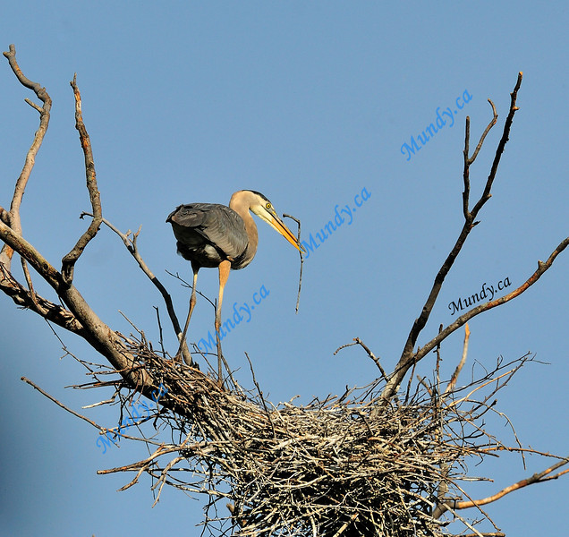 NOVEMBER #2<br /> <br /> Great Blue Heron ... building her nest.<br /> <br /> Near Elora, Ontario.