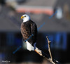 JULY #1<br /> <br /> Bald Eagle.<br /> <br /> Cambridge, Ontario.