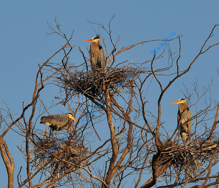APRIL #2<br /> <br /> Great Blue Heron nests.<br /> <br /> Near Elora, Ontario