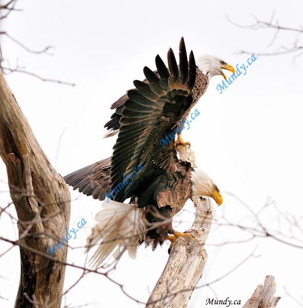 MAY #1<br /> <br /> Bald Eagles ... <br /> <br /> Cambridge, Ontario.