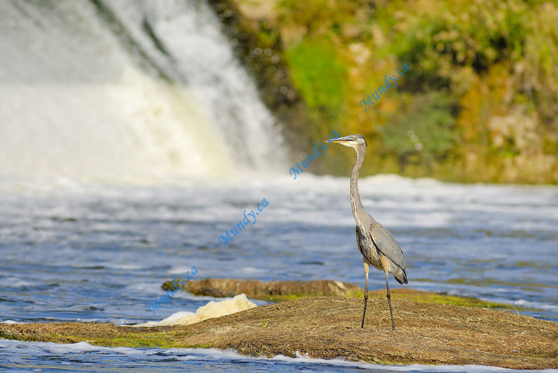 JANUARY #2<br /> <br /> Great Blue Heron fishing in the Grand River in Cambridge, Ontario