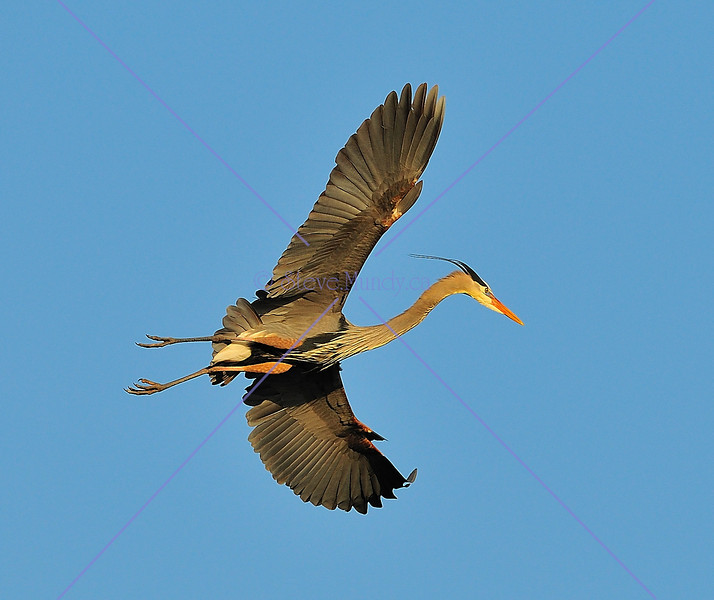 JANUARY #3<br /> <br /> Great Blue Heron - flying near Elora, Ontario