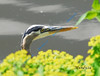 NOVEMBER #3<br /> <br /> Great Blue Heron ... fishing along the shore of the Grand River.<br /> <br /> Cambridge, Ontario.