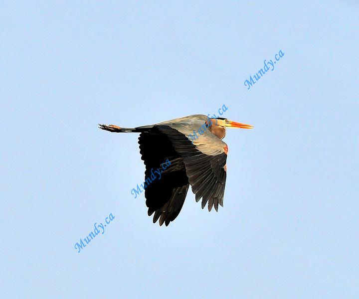 JUNE #2<br /> <br /> Great Blue Heron in flight.<br /> <br /> Near Elora, Ontario.