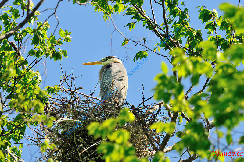 APRIL #3<br /> <br /> Great Blue Heron in nest.<br /> <br /> Near Elora, Ontario.