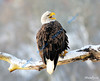 JANUARY #1 (and front cover)<br /> <br /> Bald Eagle - Cambridge, Ontario