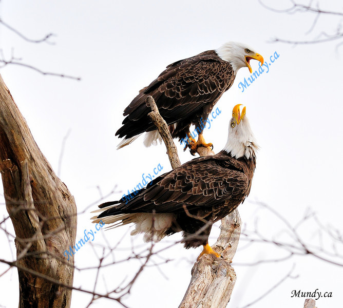 AUGUST #1<br /> <br /> Bald Eagles having a heated discussion.<br /> <br /> Cambridge, Ontario