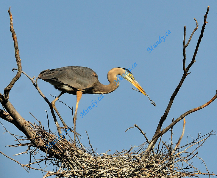 MAY#2<br /> <br /> Great Blue Heron ...building a nest.<br /> <br /> Elora, Ontario.
