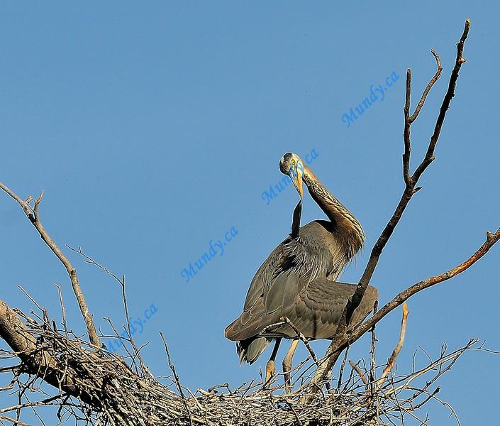 JULY #2<br /> <br /> Great Blue Heron preening.<br /> <br /> Near Elora, Ontario.