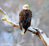 SEPTEMBER #1<br /> <br /> Bald Eagle looking over shoulder.<br /> <br /> Cambridge, Ontario.
