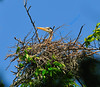 MAY #3<br /> <br /> Great Blue Heron ... in nest.<br /> <br /> Near Elora, Ontario.