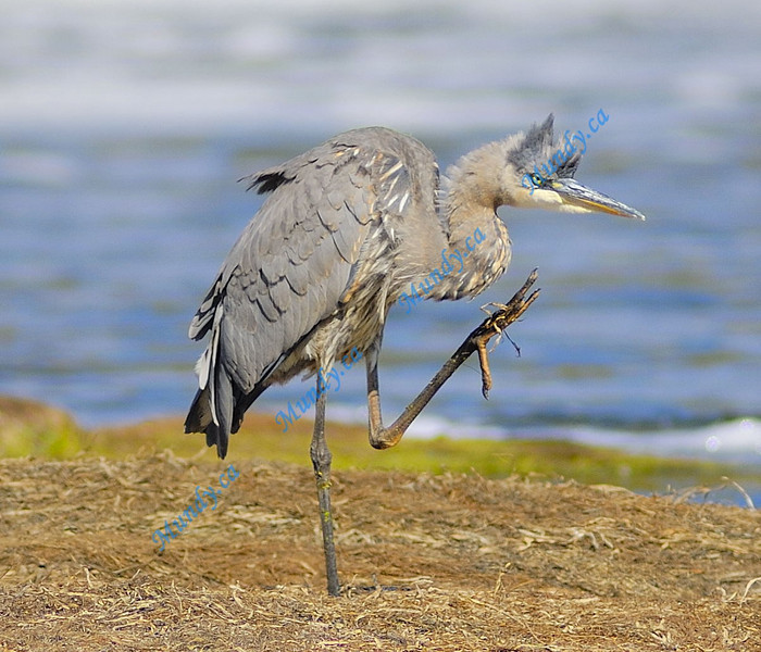 FEBRUARY #2<br /> <br /> Great Blue Heron - scratching.<br /> <br /> Cambridge, Ontario