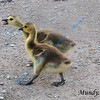 APRIL #3<br /> <br /> Baby geese walking. Point Pelee, Ontario.