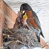MAY #3<br /> <br /> Robin feeding her babies nested on the wall of our house.