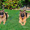 JUNE #1<br /> <br /> Terabyte (Mom) on the left - Mickey (Son) on the right.<br /> Our 2 purebred plush coat German Shepherds.<br /> Our companions, protectors, and playful, loyal friends.