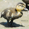 APRIL #2<br /> <br /> Baby duck in mud.  Alliston, Ontario.
