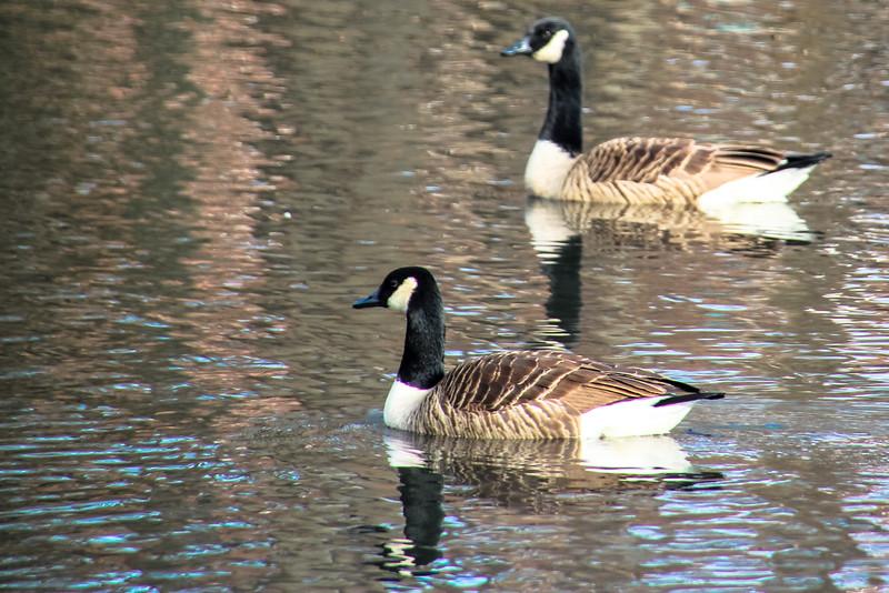 Lake - Ducks - Geese