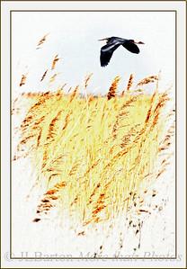 Purple Egret above the reeds Lake Neusiedl, Burgenland