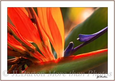 Flames Strelitzia (Bird of Paradise) Selby Botanical Garden