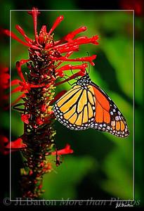 Monarch Buttery feeding on a Firespike plant Sarasota, Florida
