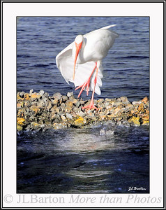 Shall we dance? White Ibis on an oyster bar in Tarpon Bay, Sanibel Island, Florida