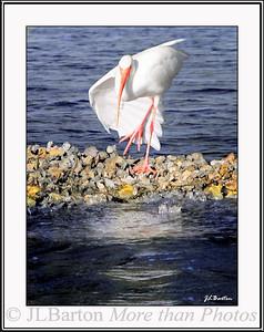 Shall we dance? White Ibis on an oyster bar in Tarpon Bay, Sanibel Island, Florida