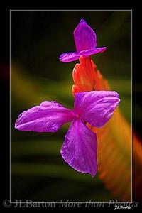 Bromiliad Flower Tillandsia Cyanea Selby Botanical Garden