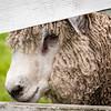 Sheep, Colonial Williamsburg, Virginia
