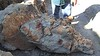 Triceratops skull, discovered by our guide, Shane Litten.<br /> Baisch Ranch, Glendive, Montana