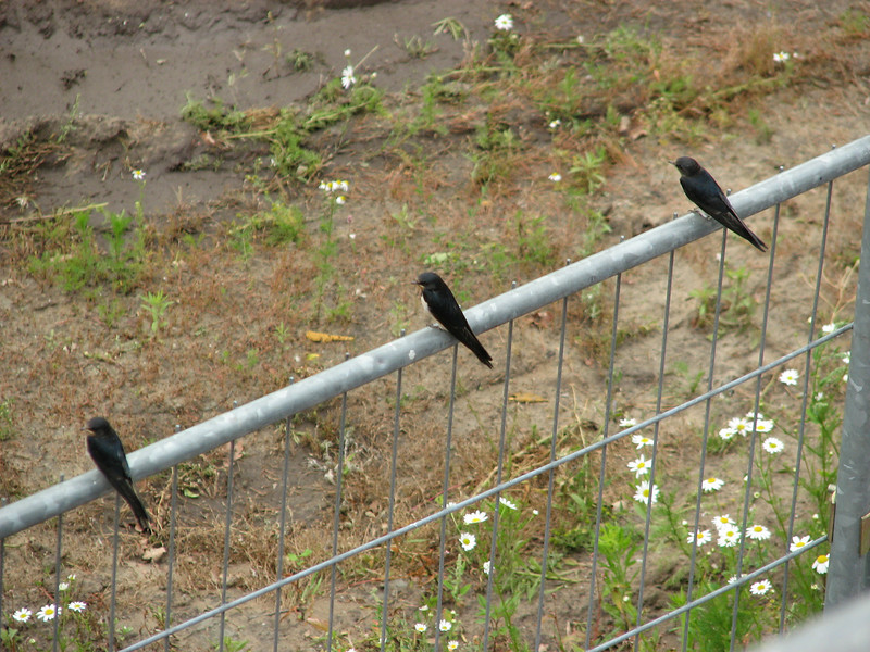 Guests on the buildingsite, Hirundo rustica (juv.)     Young Swallows on the fence   (NL: boerenzwaluw, juv.)