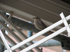 Phoenicurus ochruros, Black Redstart (NL: zwarte roodstaart)