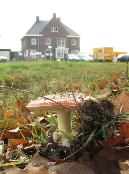 Amanita muscaria, (NL: Vliegenzwam), Autumn 2011, Jufferlaan, Sonniuspark