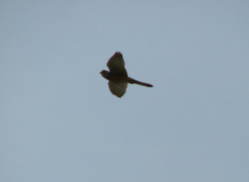 Kestrel (NL: torenvalk), Falco tinnunculus