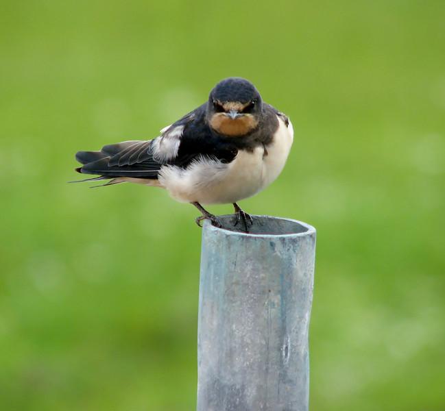 Hirundo rustica (juv.) Swallow (NL: boerenzwaluw, juv.)
