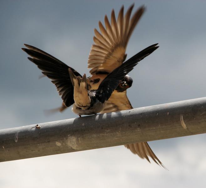Hirundo rustica (juv.) Feeding Swallow (NL: boerenzwaluw, juv.)