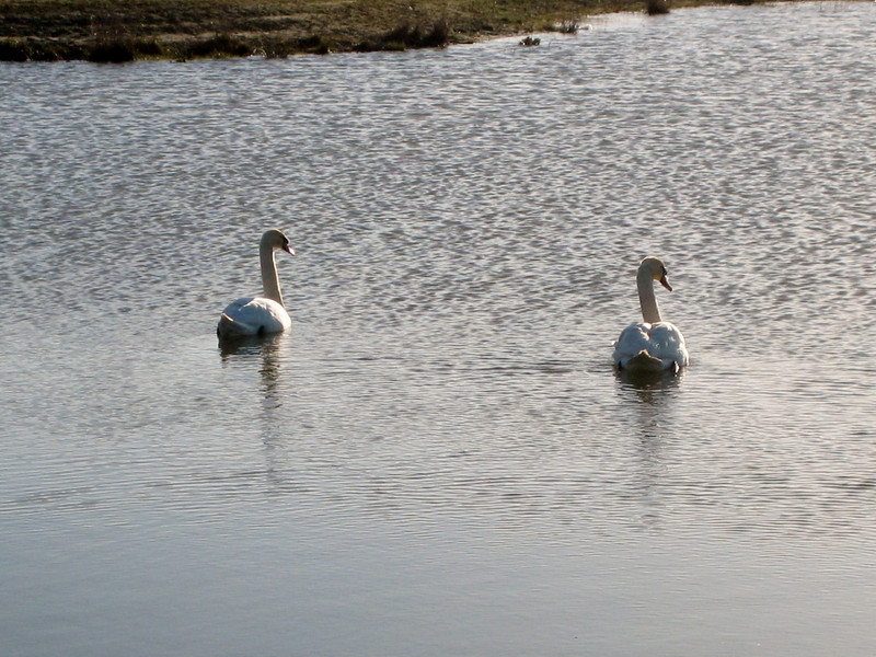 The first couple of swans in the pond of Sonniuspark