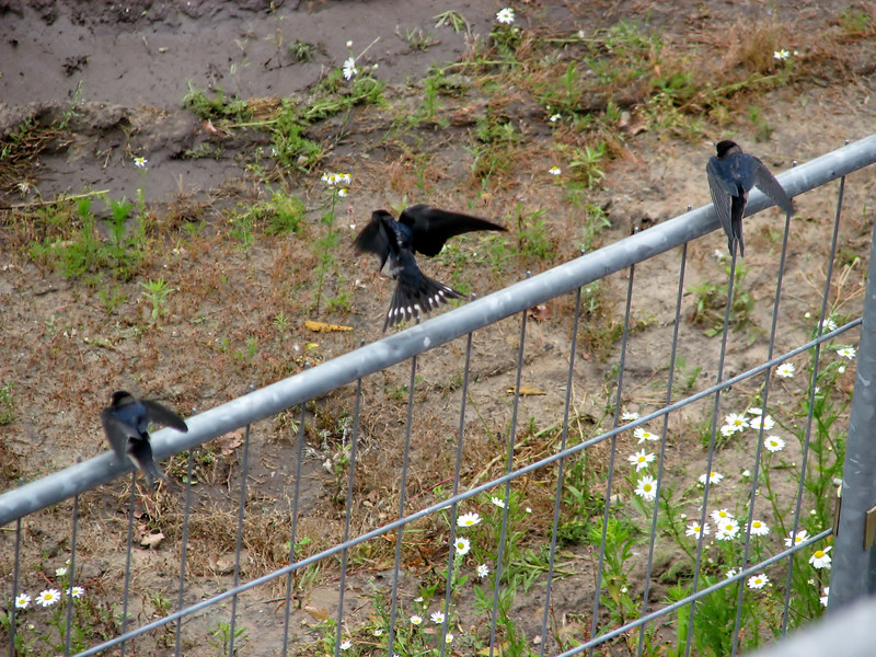 Hirundo rustica (juv.) Swallows (NL: boerenzwaluw, juv.)