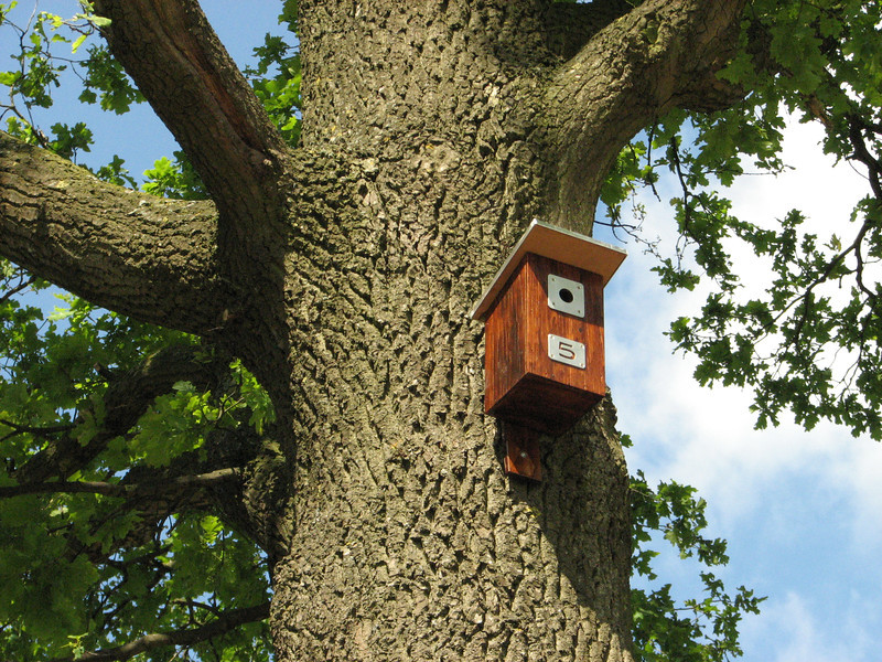 Bird house of a Great Tit, mounted in a big oak (NL: Koolmees nestkast, gat 32mm)