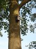 Nesting-box for a Redstart (NL: Gekraagde roodstaart)