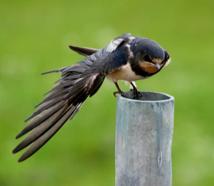 Hirundo rustica (juv.) Swallow stretching his wing (NL: boerenzwaluw, juv.)