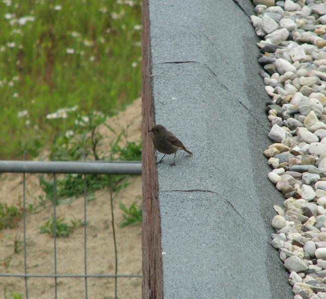 Phoenicurus ochruros,  Visitor Black Redstart on the building site (NL: zwarte roodstaart)