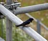 Hirundo rustica (adult) Swallow (NL: boerenzwaluw, volwassen)