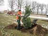 Planting a Pinus sylvestris tree