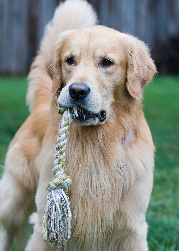 """Retriever with Rope""<br /> Assignment: Things that begin with ""R"""