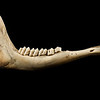 Lower jawbone of a whitetail deer.