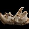 Lower jawbone of a beaver.