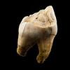 Elk tooth.