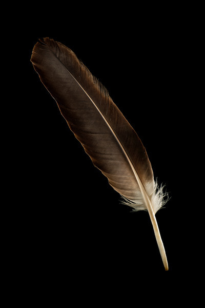 Primary wing feather of an American Bald Eagle.